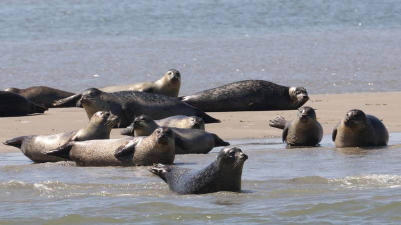 Robben auf den Watteninseln ruhen auf