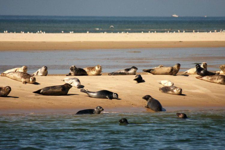 Zeehonden in het Nederlandse Waddengebied