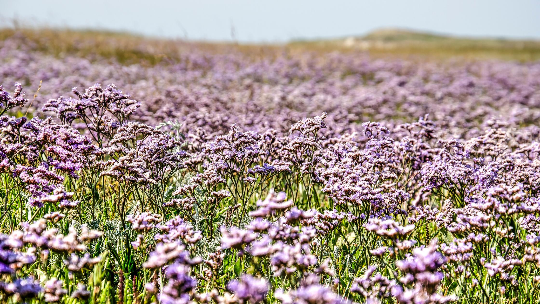 Purple sea lavender in bloom on Wadden Island Texel