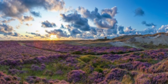 Violette Dünenheide auf Texel